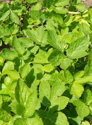 Impératoire - Peucedanum ostruthium