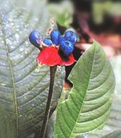 Ipéca - Plante Médicinale