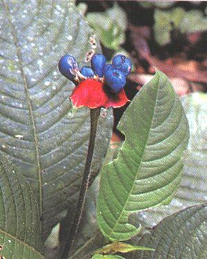Ipéca - Cephalis ipecacuanha