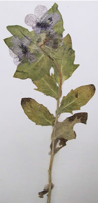 Jusquiame - Hyoscyamus niger