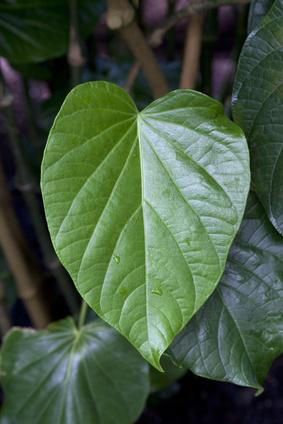 Kawa - Piper methysticum G. Forst
