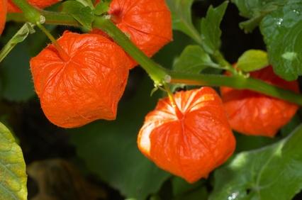 Physalis - Plante médicinale