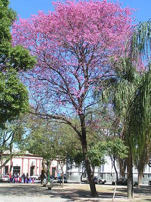 Lapacho - Tabebuia impetiginosa
