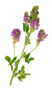 Luzerne - Plante Médicinale