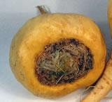 Maca - Plante Médicinale