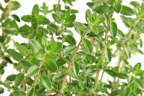 marjolaine-plante-medicinale