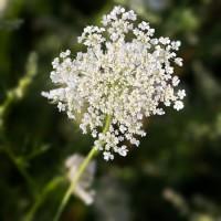 Millefeuille - Achillea millefolium