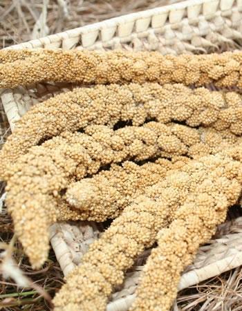 Millet - Panicum miliaceum