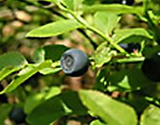 myrtille-2