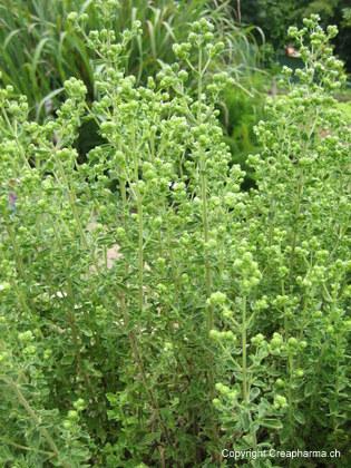 Origan - Origanum vulgare
