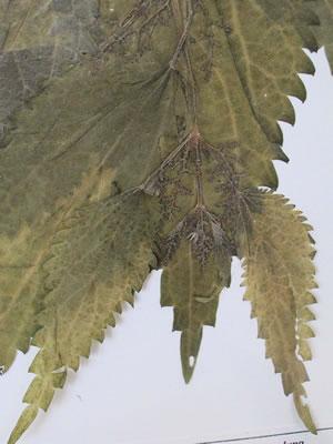 Ortie (feuilles d'ortie) - Plante médicinale