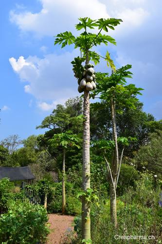 papaye-arbre-bresil