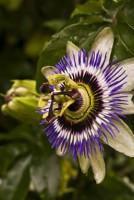 Passiflore - Passiflora incarnata