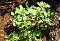 Patchouli - Plante médicinale