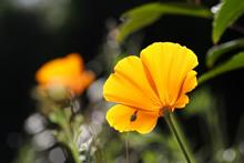 Pavot de Californie - Plante médicinale