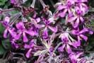 Pelargonium - Plante médicinale Afrique du Sud