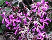 Pelargonium - Plante médicinale