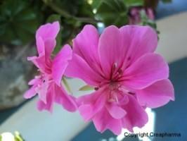 Pelargonium - Eschscholzia californica