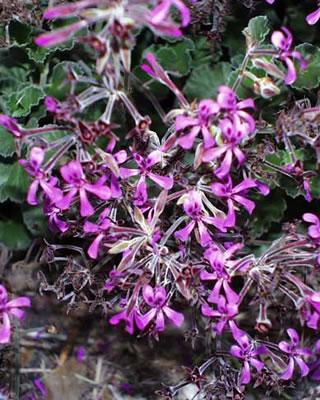 Pelargonium - Eschscholzia