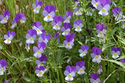 Pensée sauvage - Viola tricolor