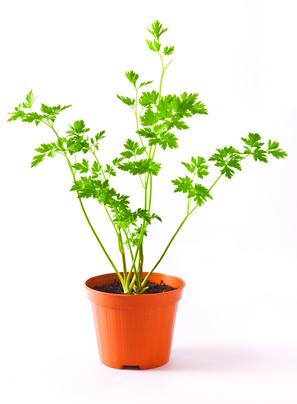 Persil - Petroselinum crispum