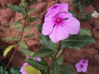 Pervenche de Madagascar - Plante médicinale