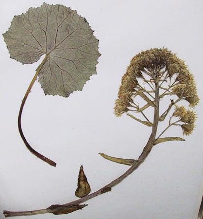 Pétasite - Petasites hybridus