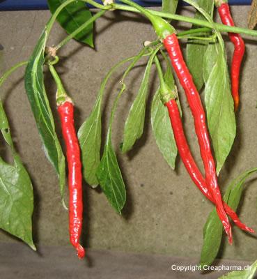 Piment - Capsicum frutescens