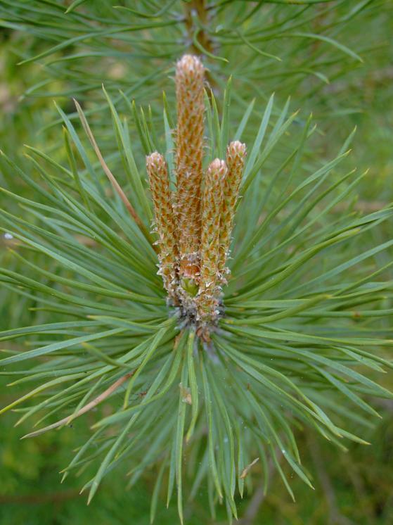 Pin - Pinus sylvestris