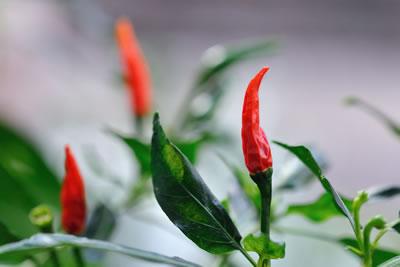 Piment - Plante médicinale