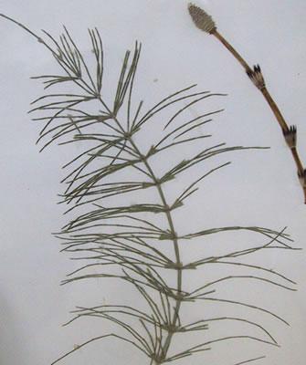 Prêle - Plante médicinale