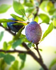 Prune - Plante médicinale