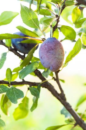 Prune - Prunus domestica