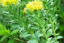 Rhodiola contre la fatigue