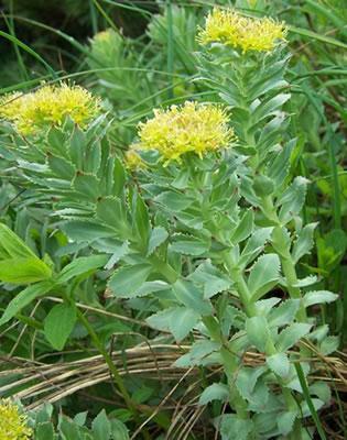 Rhodiola - Rhodiola rosea