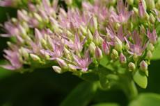 Rhodiola - Plante médicinale