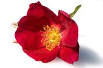 Rose - Plante médicinale
