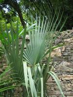 Palmier nain - Sabal - Serenoa repens