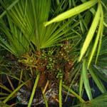 Palmier nain - Sabal - Plante médicinale