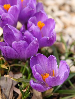 safran - Crocus sativus