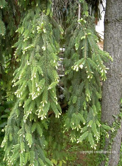 Sapin - Plante médicinale