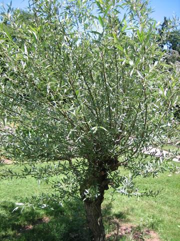 Saule arbre