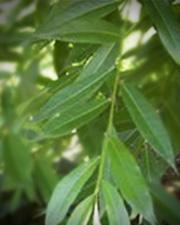 Saule - Plante médicinale