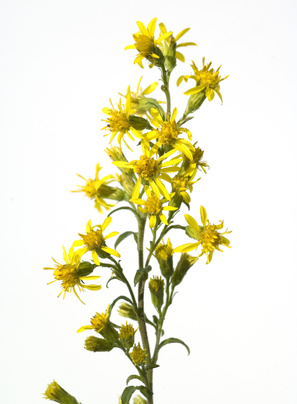 Verge d'or - Solidago virgaurea