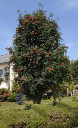 Sorbier - Sorbus aucuparia