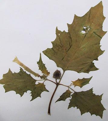 Stramoine - Plante médicinale