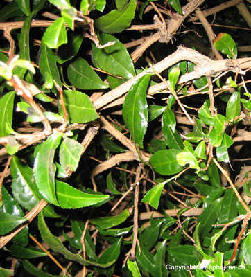 thé blanc - Camellia sinensis