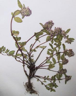 Thym serpolet - Plante médicinale
