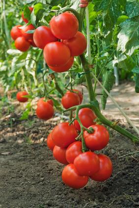 Tomate - Solanum lycopersicum