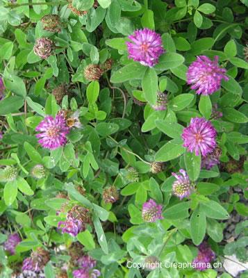 Trèfle rouge - Trifolium pratense